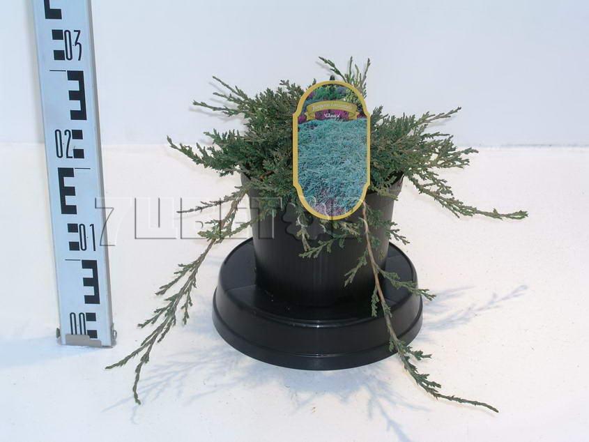 juniperus-horizontalis-glauca-08.jpg