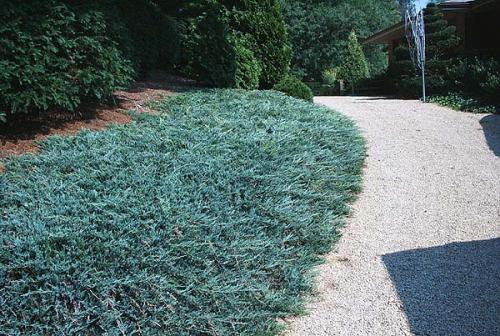 juniperus-horizontalis-glauca-11.jpg
