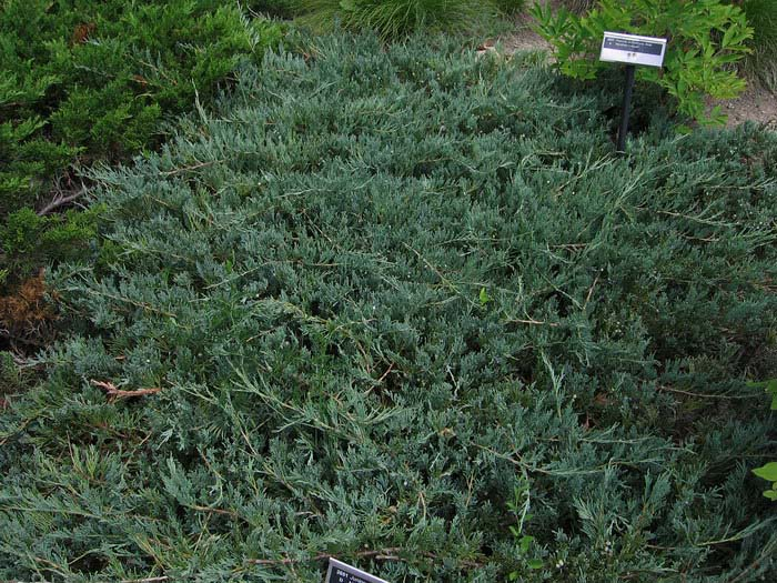 juniperus-horizontalis-glauca-13.jpg