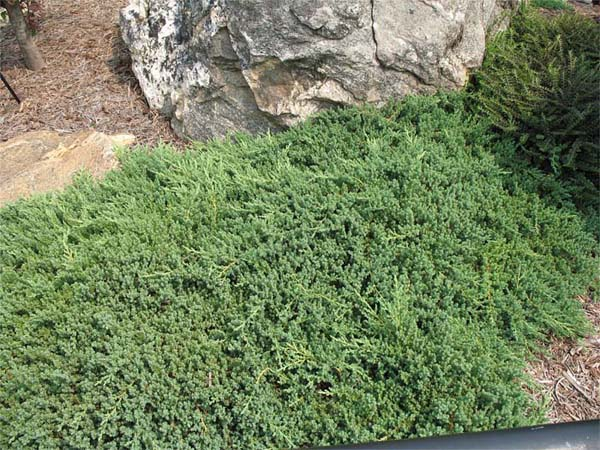 juniperus-procumbens-nana-02.jpg