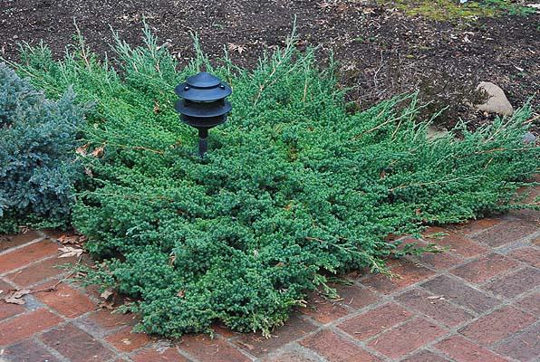 juniperus-procumbens-nana-04.jpg