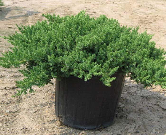 juniperus-procumbens-nana-05.jpg