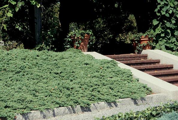 juniperus-procumbens-nana-06.jpg