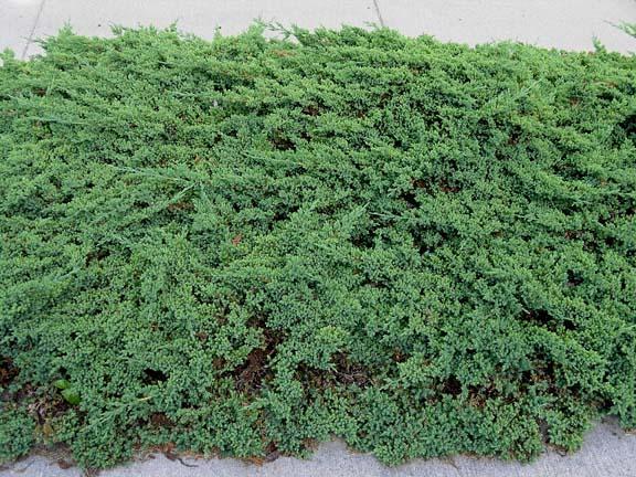 juniperus-procumbens-nana-07.jpg