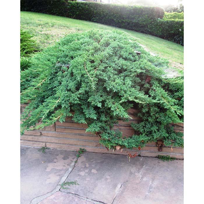 juniperus-procumbens-nana-08.jpg