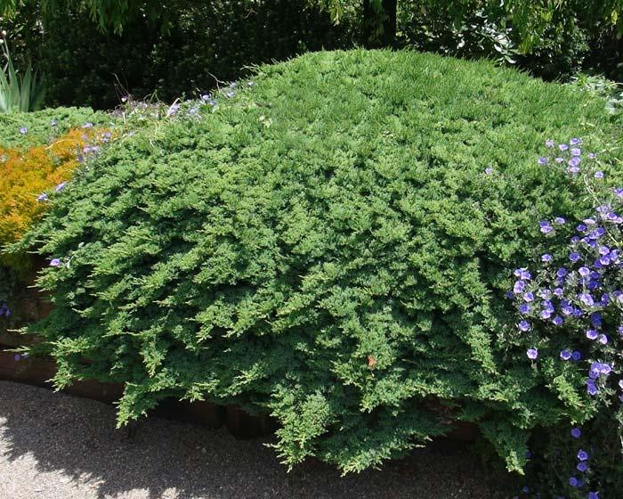 juniperus-procumbens-nana-09.jpg