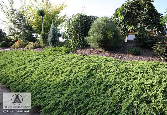 juniperus-procumbens-nana-10.jpg