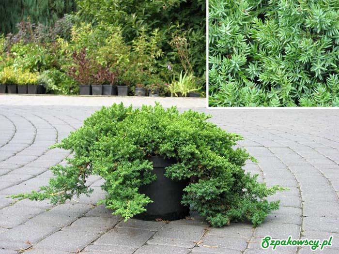 juniperus-procumbens-nana-12.jpg