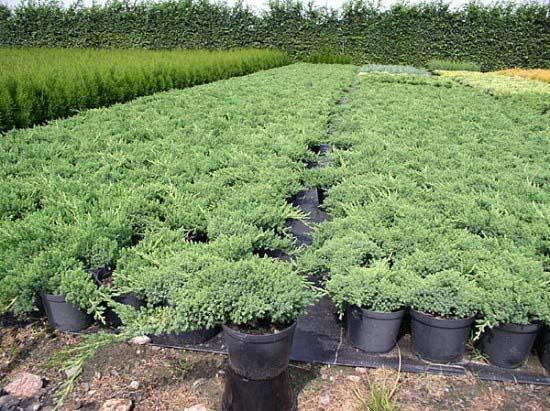 juniperus-procumbens-nana-13.jpg