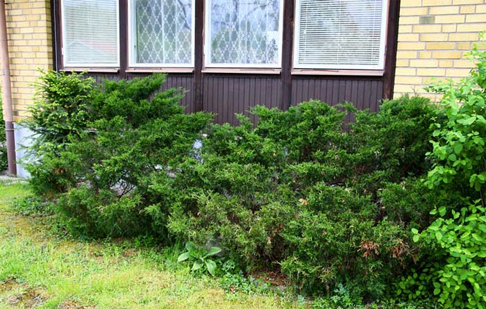juniperus-sabina-mas-02.jpg