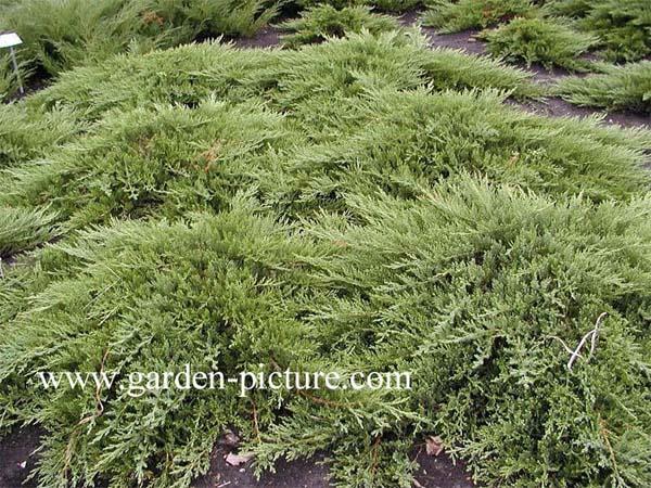 juniperus-sabina-rockery-gem-01.jpg