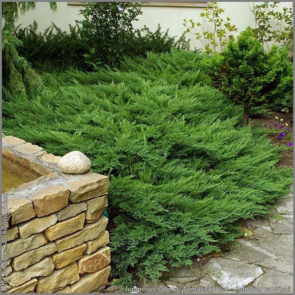 juniperus-sabina-rockery-gem-03.jpg