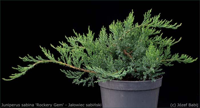 juniperus-sabina-rockery-gem-04.jpg