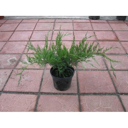 juniperus-sabina-rockery-gem-05.jpg