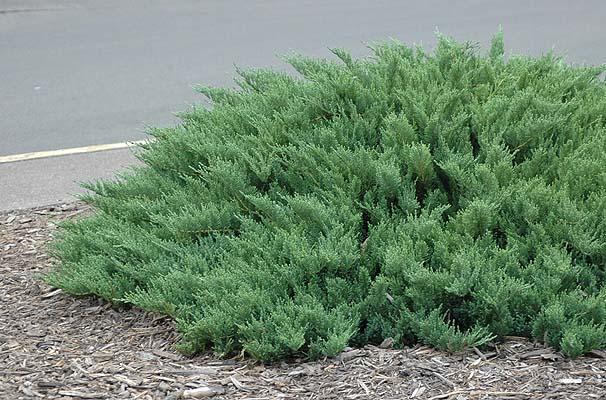 juniperus-sabina-tamariscifolia-01.jpg