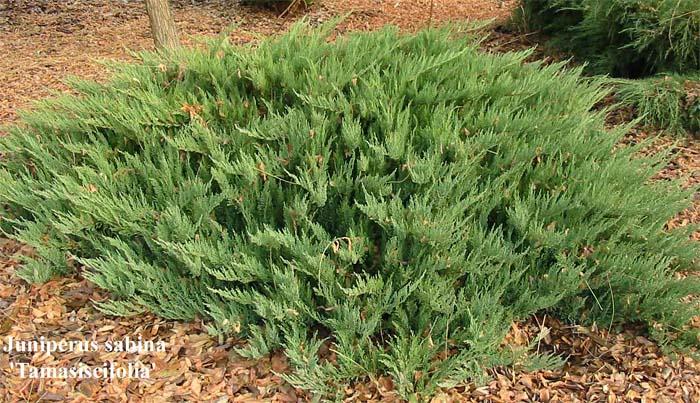 juniperus-sabina-tamariscifolia-02.jpg