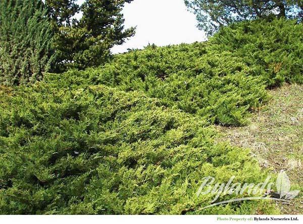 juniperus-sabina-tamariscifolia-03.jpg
