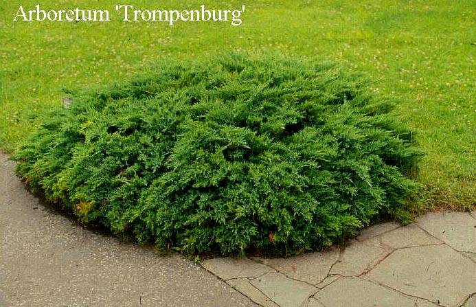 juniperus-sabina-tamariscifolia-04.jpg