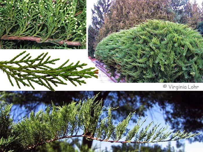 juniperus-sabina-tamariscifolia-05.jpg
