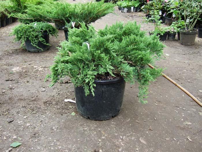 juniperus-sabina-tamariscifolia-06.jpg