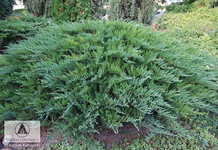 juniperus-sabina-tamariscifolia-07.jpg