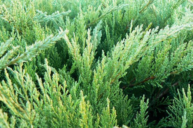 juniperus-sabina-tamariscifolia-08.jpg