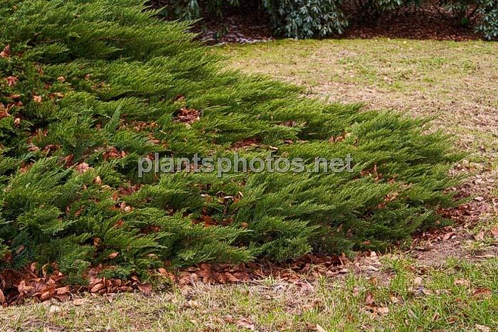 juniperus-sabina-tamariscifolia-09.jpg