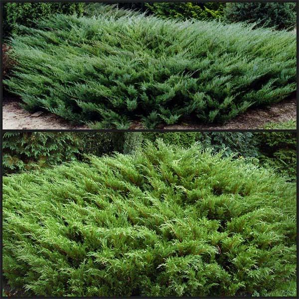 juniperus-sabina-tamariscifolia-10.jpg