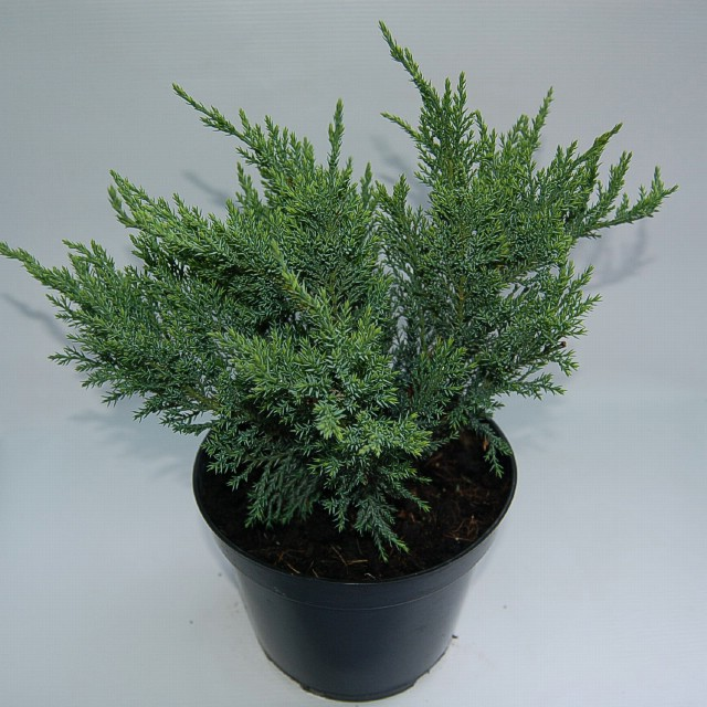 juniperus-sabina-tamariscifolia-11.jpg