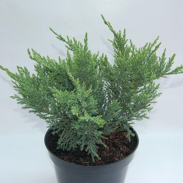 juniperus-sabina-tamariscifolia-12.jpg