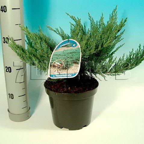 juniperus-sabina-tamariscifolia-13.jpg