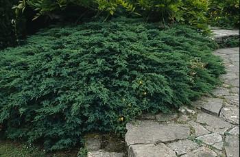 juniperus-sabina-tamariscifolia-14.jpg
