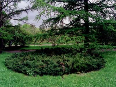 juniperus-sabina-tamariscifolia-16.jpg