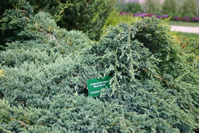 juniperus-squamata-blue-carpet-02.jpg