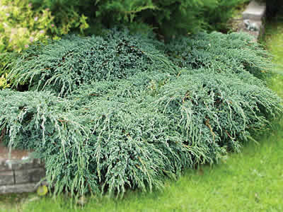 juniperus-squamata-blue-carpet-03.jpg