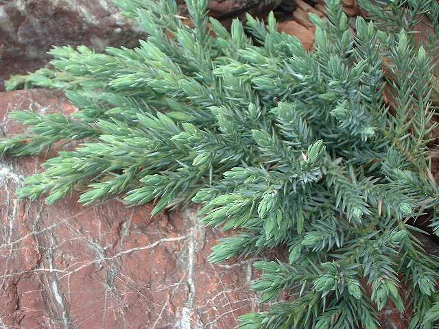 juniperus-squamata-blue-carpet-04.jpg