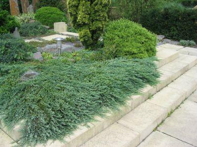 juniperus-squamata-blue-carpet-05.jpg