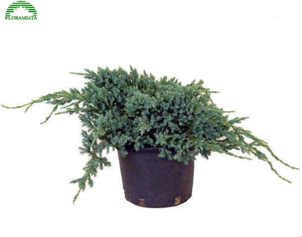 juniperus-squamata-blue-carpet-08.jpg