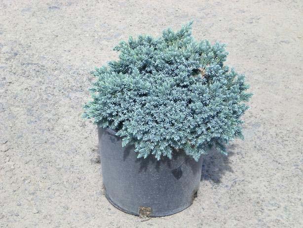juniperus-squamata-blue-carpet-09.jpg