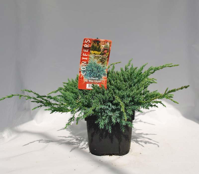 juniperus-squamata-blue-carpet-10.jpg