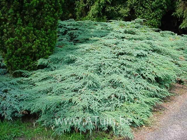 juniperus-squamata-blue-carpet-11.jpg