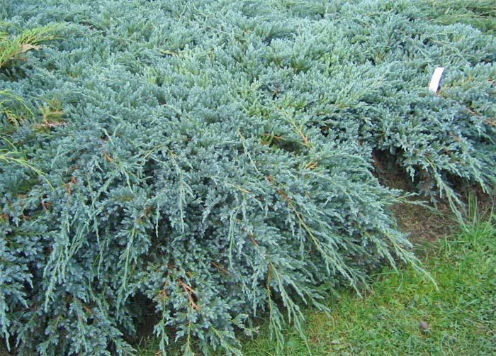juniperus-squamata-blue-carpet-12.jpg