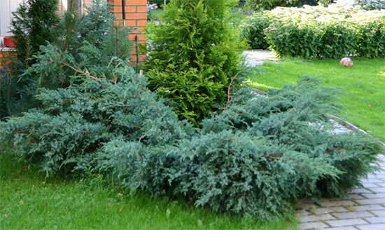 juniperus-squamata-blue-carpet-14.jpg