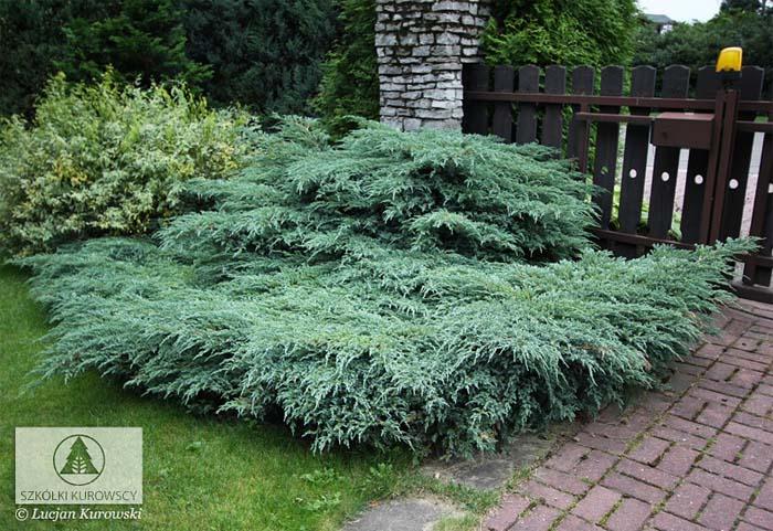 juniperus-squamata-blue-carpet-15.jpg