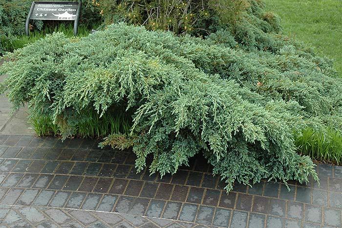 juniperus-squamata-blue-carpet-16.jpg