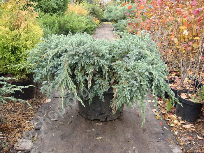 juniperus-squamata-blue-carpet-20.jpg
