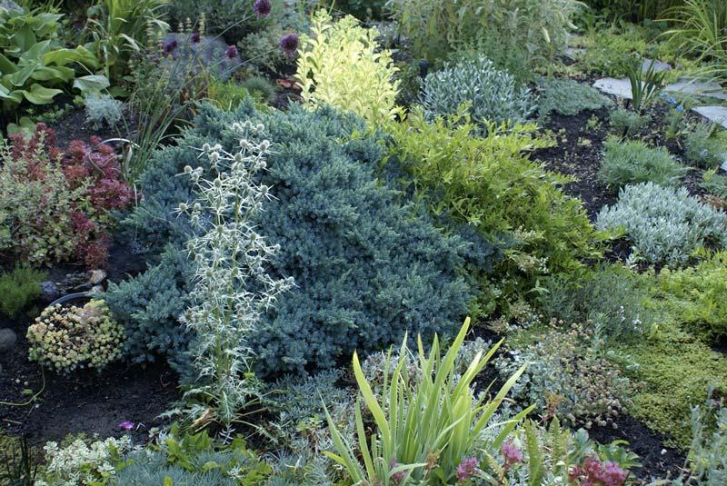 juniperus-squamata-blue-star-01.jpg