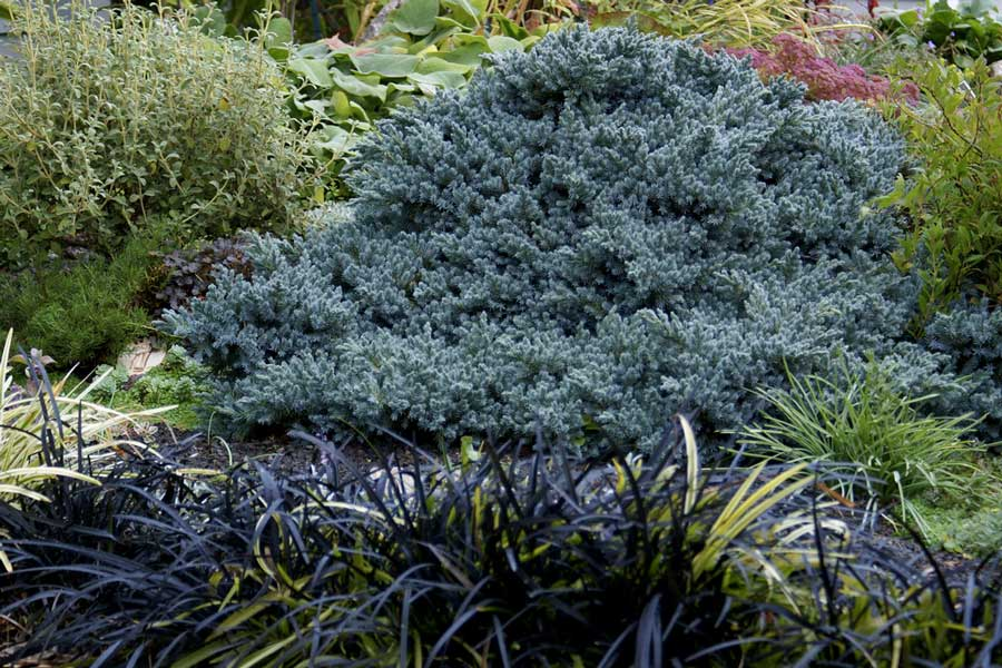 juniperus-squamata-blue-star-02.jpg