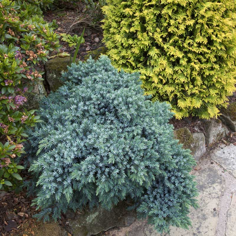 juniperus-squamata-blue-star-05.jpg