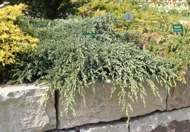 juniperus-squamata-blue-star-06.jpg